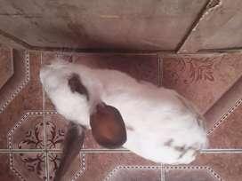 se da en adopcion lindo conejo