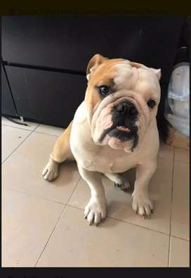 Bulldog ingles macho adulto