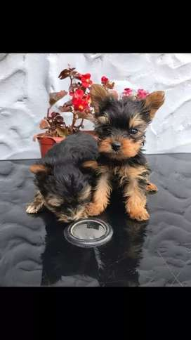 Ejemplares yorkshire terrier disponibles