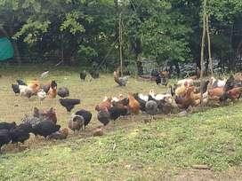 Vendo lote de gallinas criollas iniciando postura