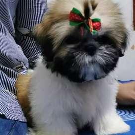 linda cachorra raza CHITZU súper mini