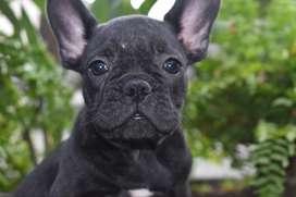 Cachorros Bulldog Frances Criadero El Arca Del Frances