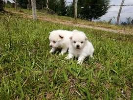 Pomeranias coquetos