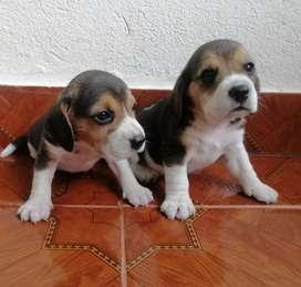 Vendo beagles minis tricolor