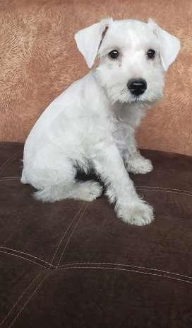 Cachorro Schnauzer en venta