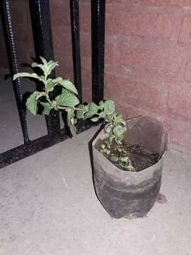 Plantin de menta, zapallito, canela