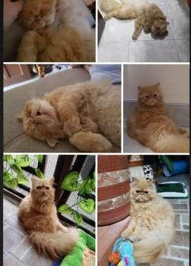 gatos persa buscan lindas novias
