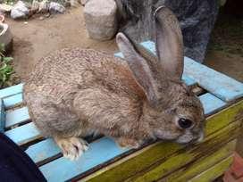 Conejos Trujillo