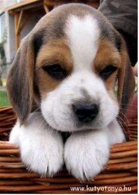 divinos bebes beagle hermosos de bellos tonos de color y gran actitud