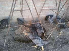 Pollitos y pollas bataras