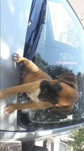 Vendo perrita boxer