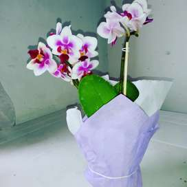 Orquídeas phalaenopsis Grandes medianas y minis