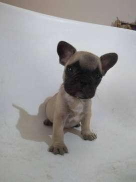 Bulldog francés cachorros