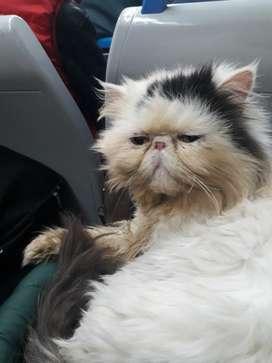 Gato Persas Bicolor para Servicio