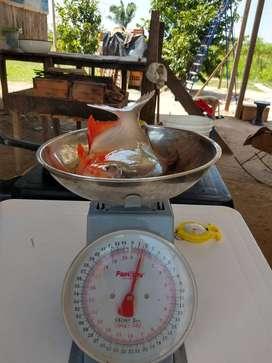 PACO a 8.00 soles kilo