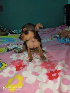 Hermosa cachorrita pincher miniatura de 45 dias