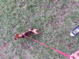 Chihuahua pincher para monta