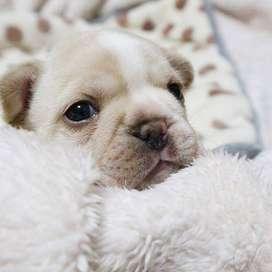 fawn crema bulldog frances 59 dias