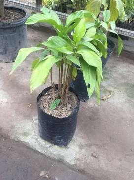 planta noni