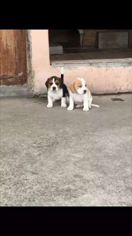 Disponibilidad  de cachorritos beagles 46 días de  nacidos