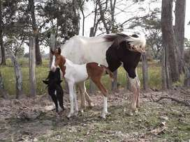 Hermosa yegua hija de buen caballo