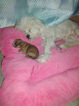Se vende cachorritos raza chitsu