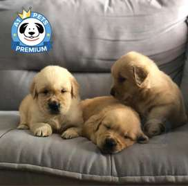 CACHORROS GOLDEN RETRIEVER LINDOS DISPONIBLES!