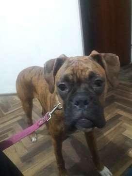 Vendo perra boxer 8 meses