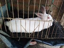 Se vende coneja antialergica