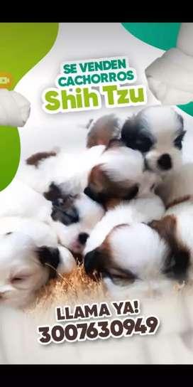 Shitzu súper mini