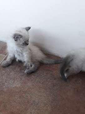 Vendo gatitos cruzados siames con persa