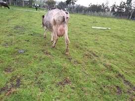 Vendo hermosa vacas