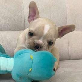 bulldog frances, 60 dias, con certificado veterinario