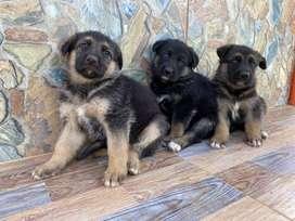 Hermosas cachorras pastor aleman