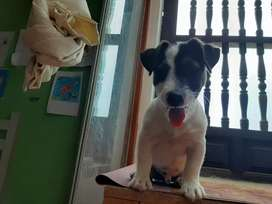 Perritos Jack Russell
