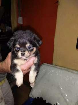Hermosos Chihuahua para la venta
