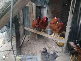 Se venden pollos criollos campesinos
