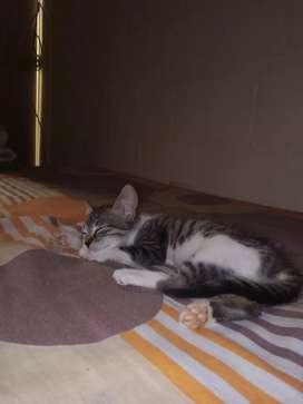 Hermoso Gatito de mes y medio
