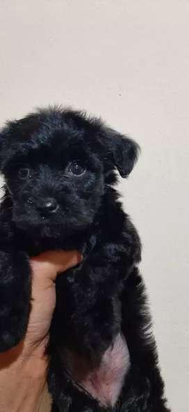 Yorkshire macho mini negro