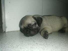 Cachorros Mini pug