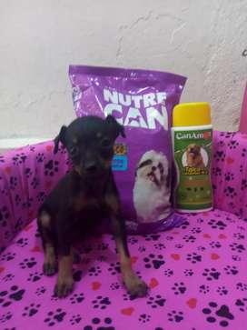 Dog minis Pincher negrita