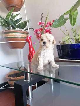 French poodle hembra vacunada y desparasitada 45 días