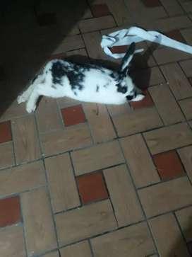 Conejo en venta