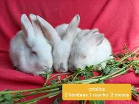 Conejos criollos