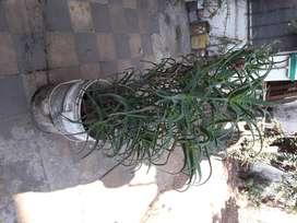 Planta suculenta espinosa