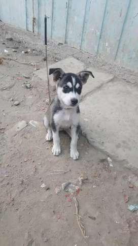 cachorro de loba siberiana