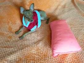 Vendo perrito pinkidoberman