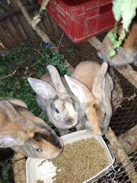 Vendo conejos grandes y pequeños