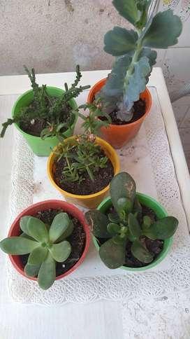 Suculentas ( plantas)