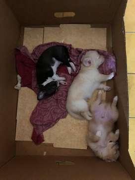Somoscuatro hermosos cariñosos machos y hembras de 45 dias mini  chihuahua vacunados y desparacitados
